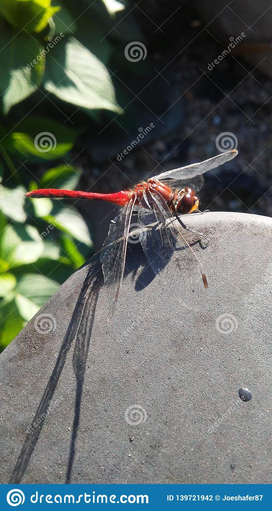 Cool close up of a red dragonfly
