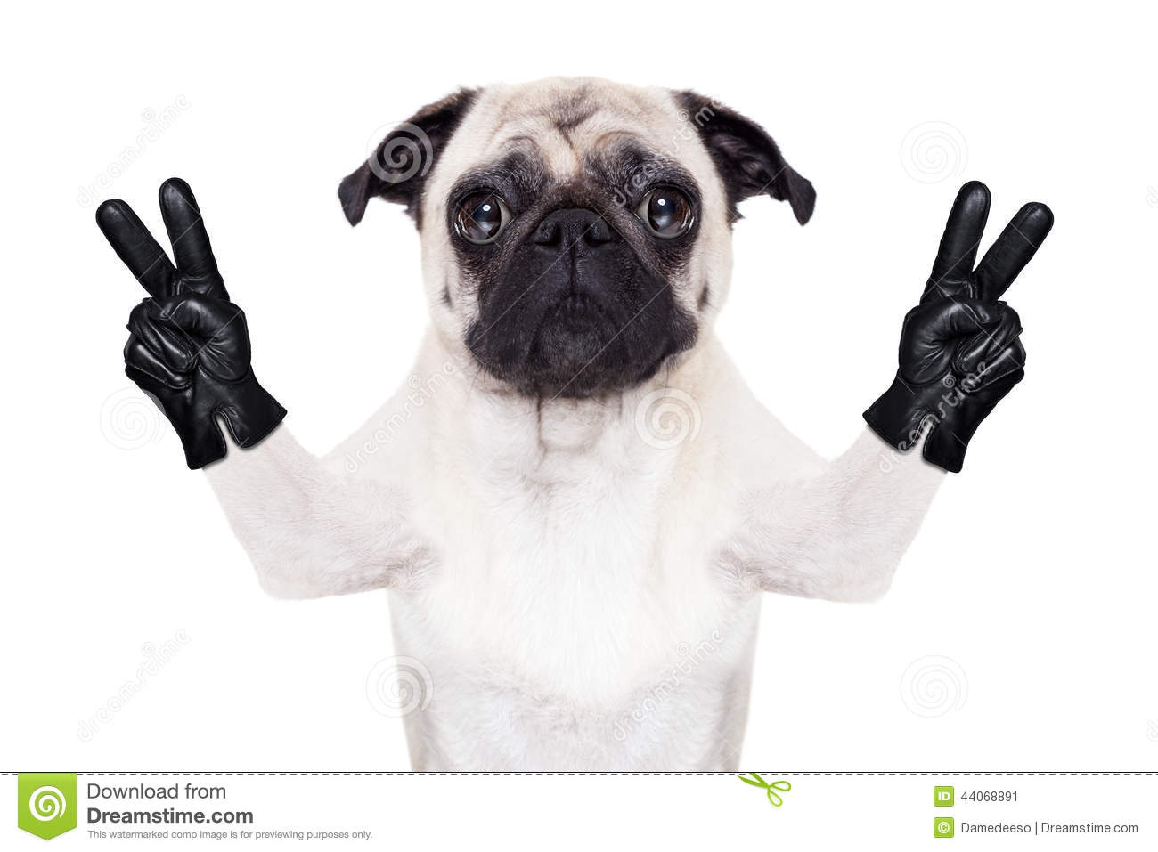 cool pug dog stock image  image of costume  happy  humor