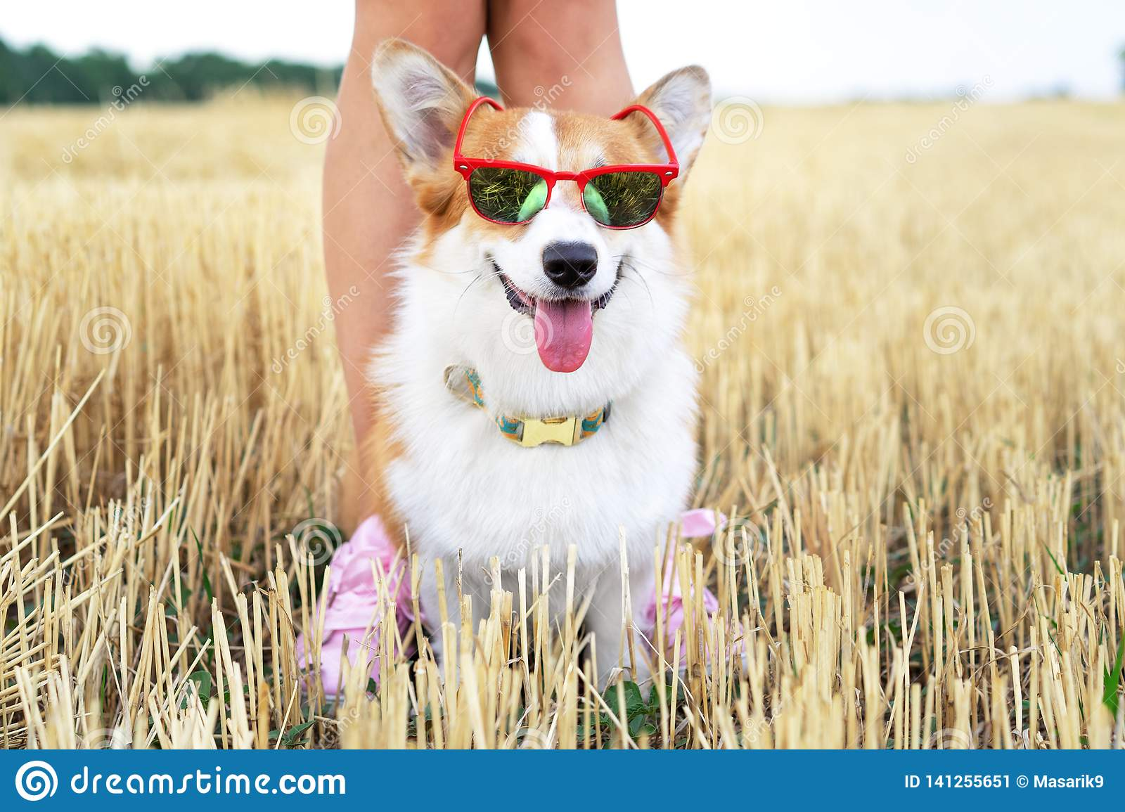 Cool Welsh Corgi Pembroke dog wearing red sunglasses on vacation for a walk with his master