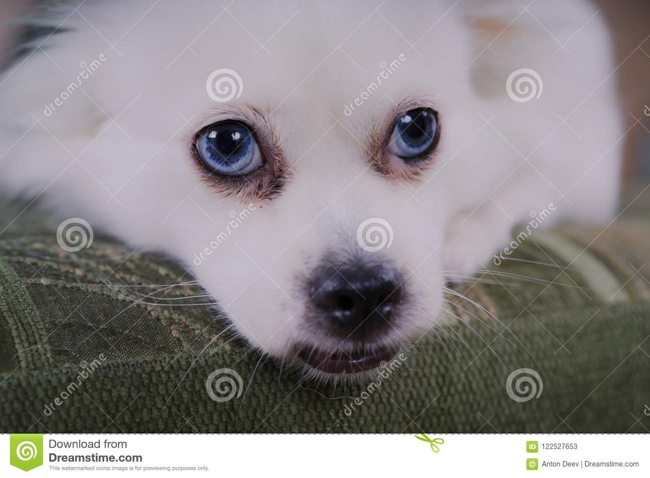 White fluffy dog lying on the couch and very wary looking to the side