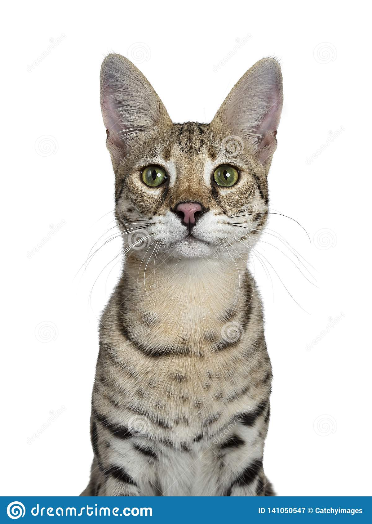 Cool young adult Savannah F1 cat, Isolated on white background