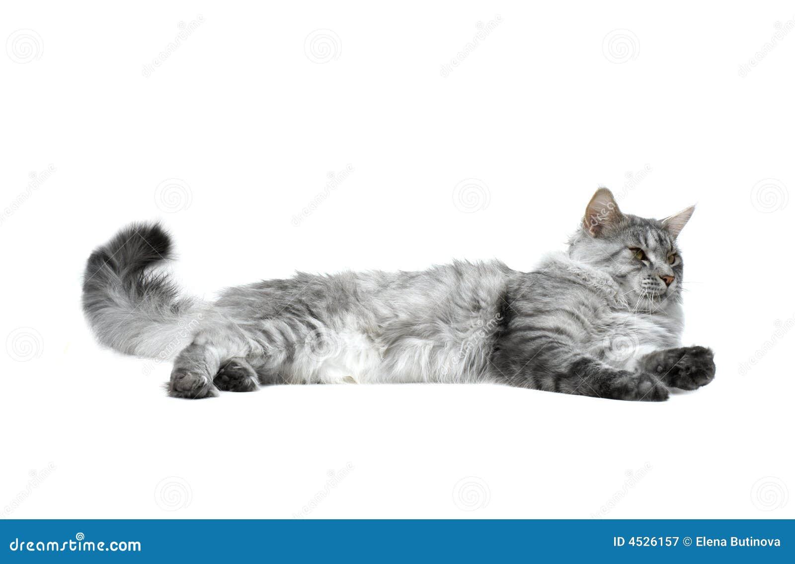 Coon Maine zrelaksować kota