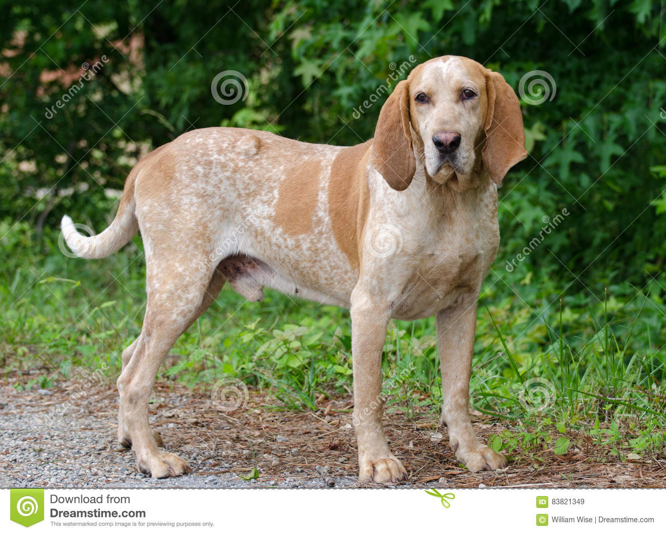 Coonhound Redtick