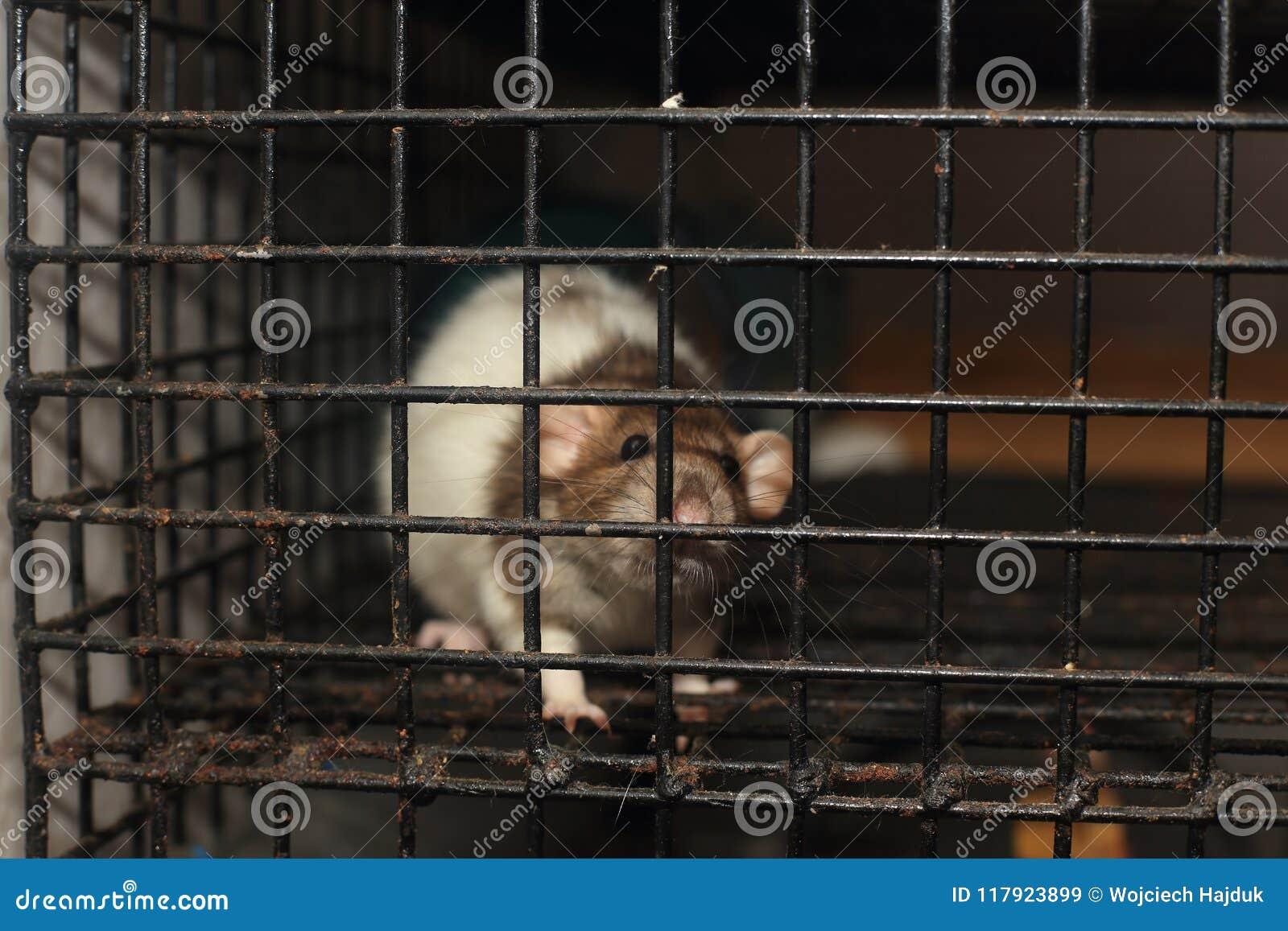 Coop szczura