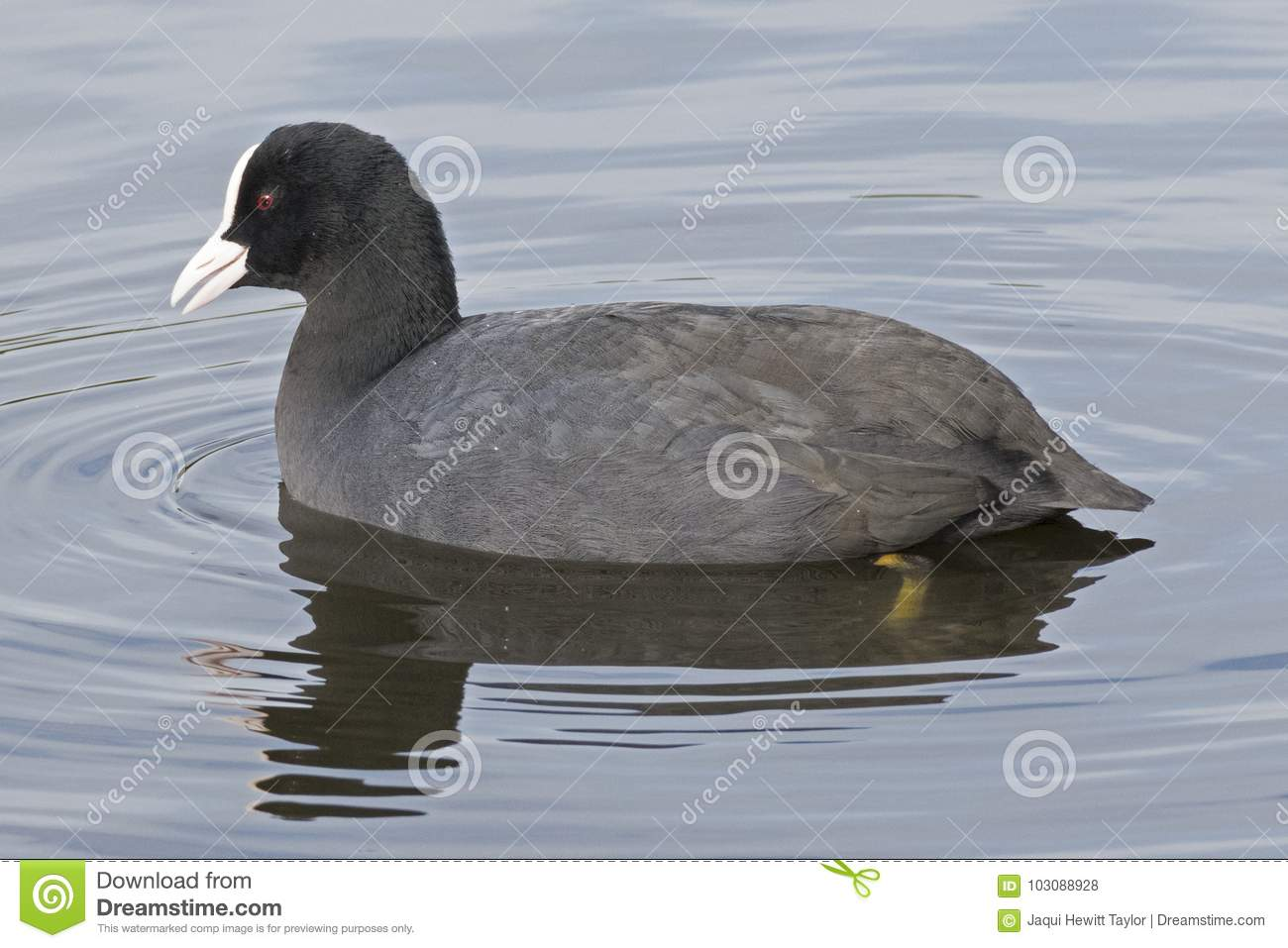 A coot on the water