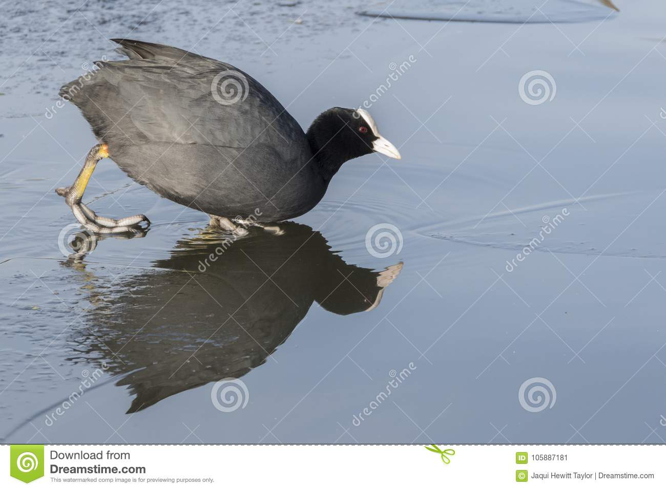 A coot entering the icy water
