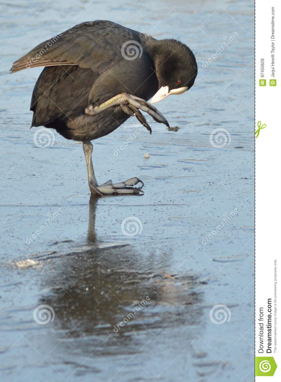 Download A coot on the ice stock photo. Image of water, lake, pond - 97455628