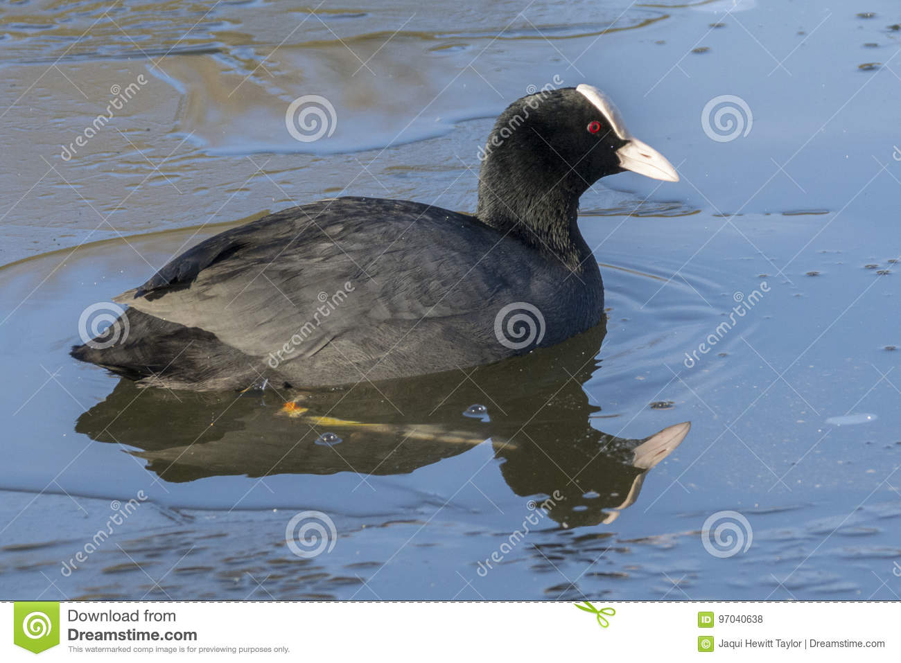 Coot in icy water