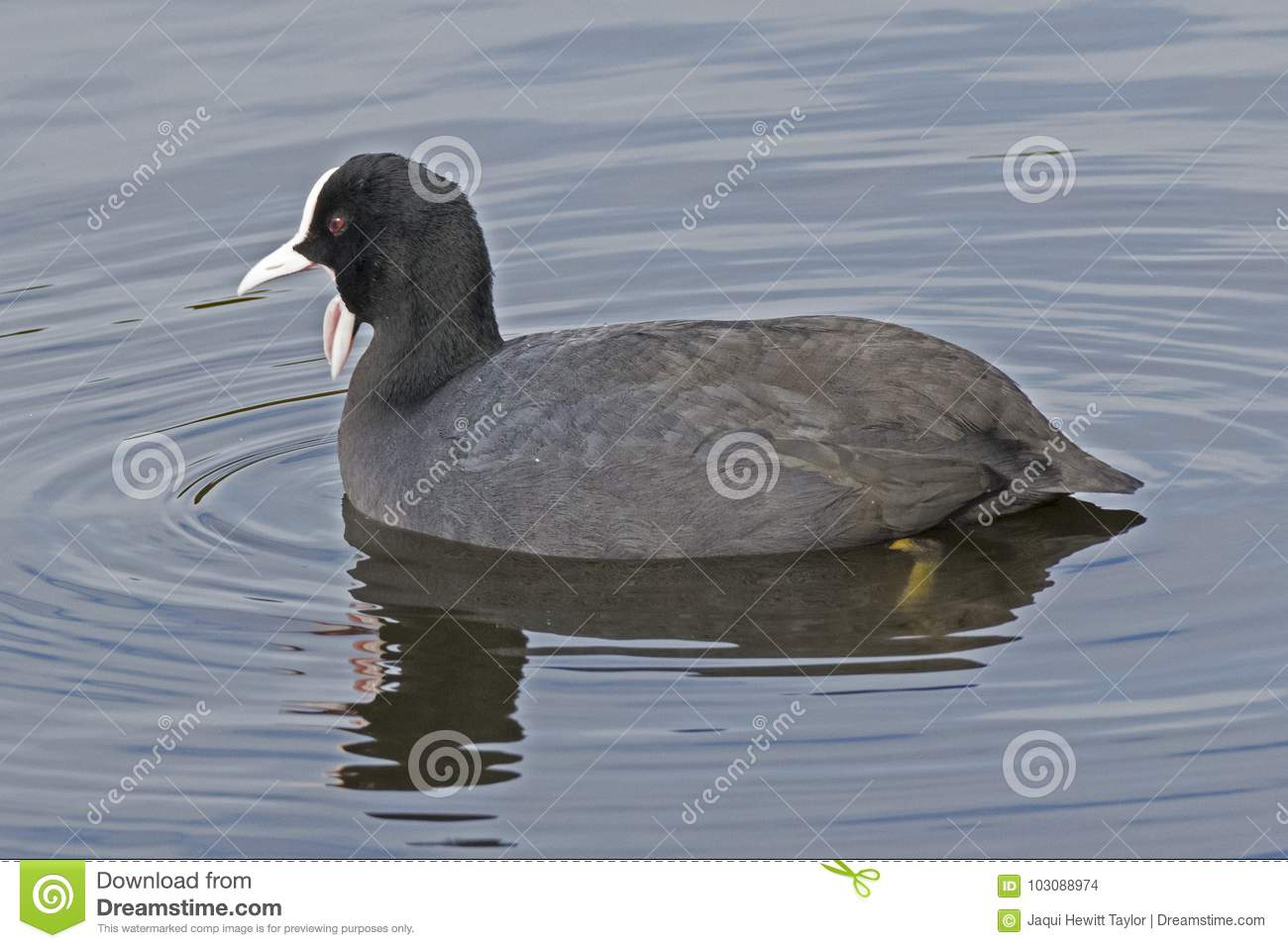 A coot with open beak