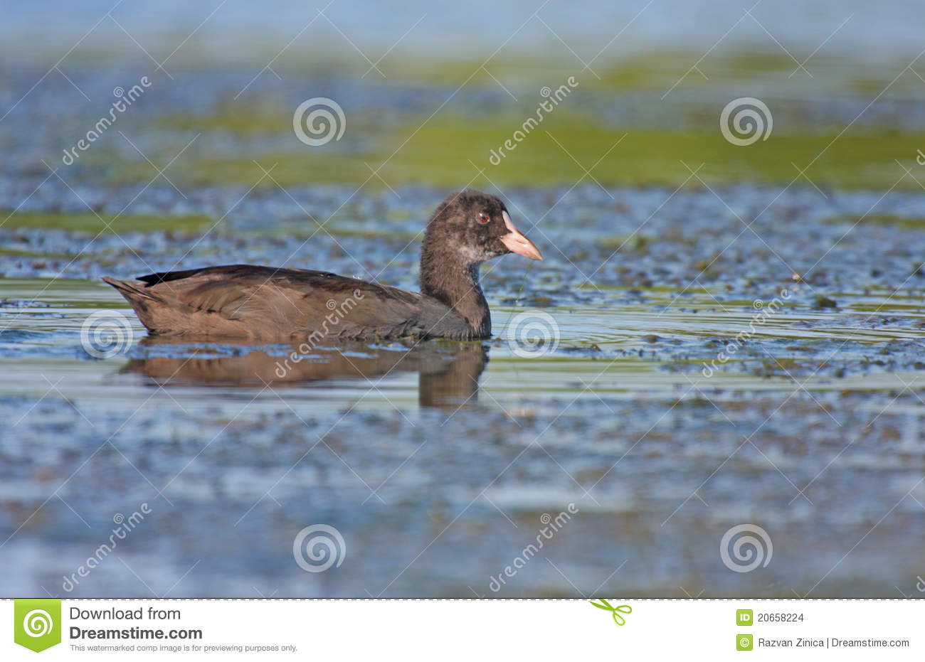 Coot potomstwa