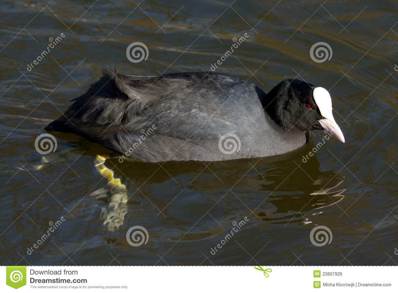 A coot is swimming