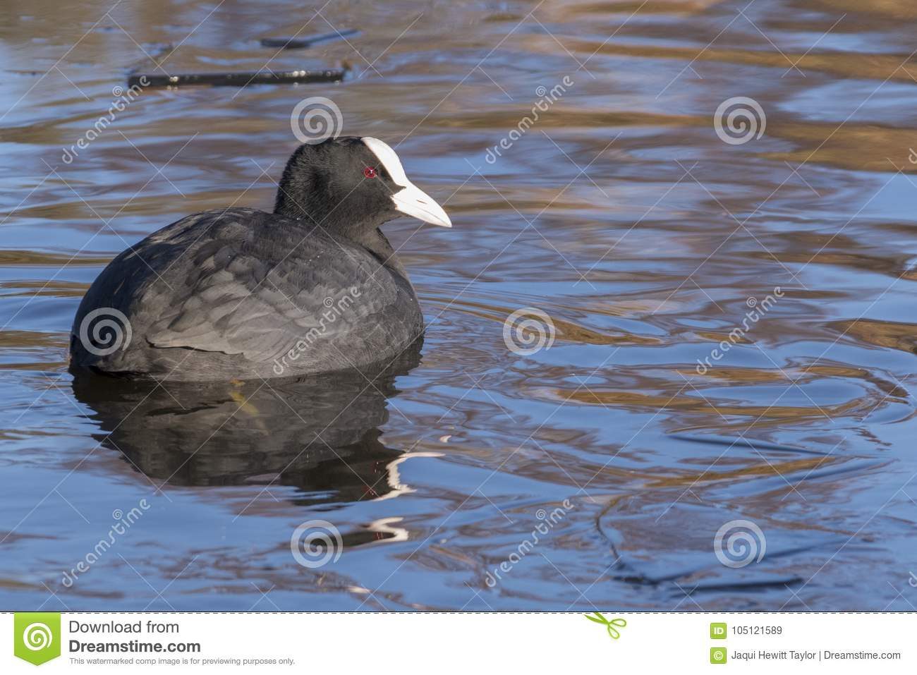 Download A Coot Swimming In Icy Water : Southampton Common Stock Image - Image of freezing, swimming: 105121589