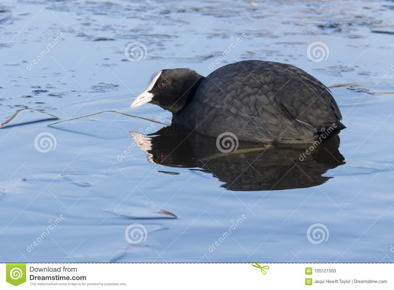 A coot swimming in icy water : Southampton Common