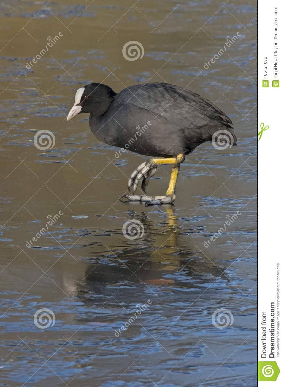 A coot walking on ice : Southampton Common
