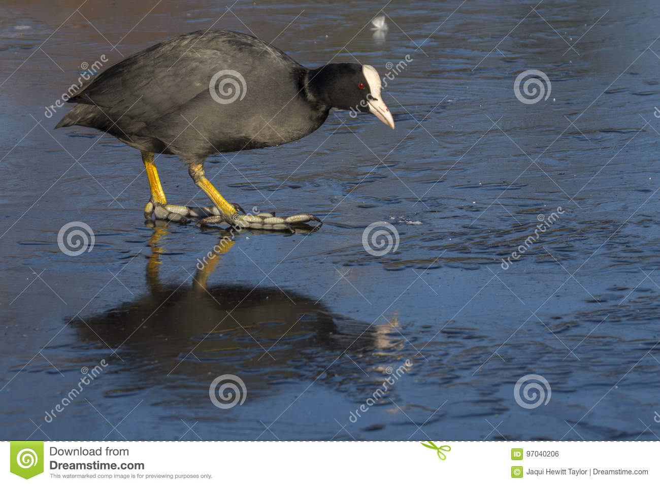 Download Coot walking on ice stock photo. Image of bird, frozen - 97040206