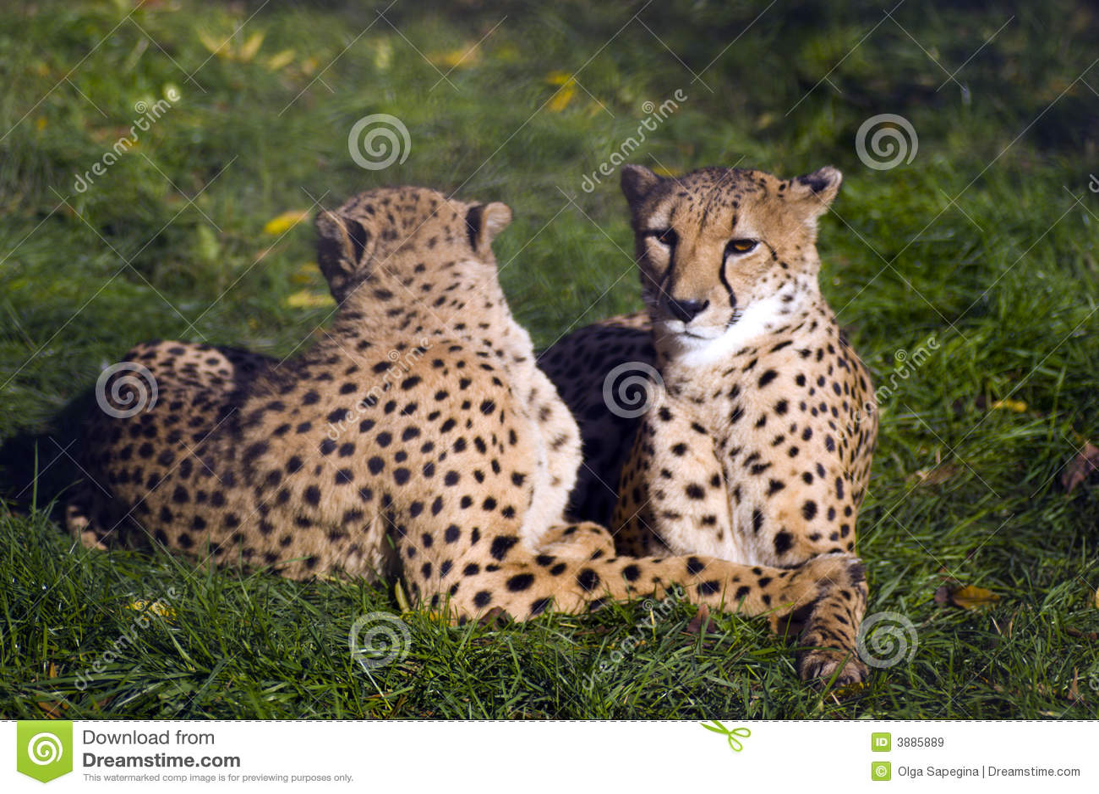 Coouple dei ghepardi