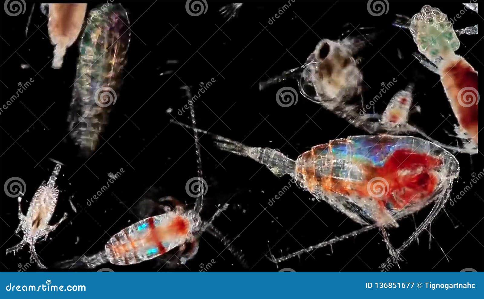 Copepoddierlijk plankton een kril in zoetwater en Mariene ondermicroscoop