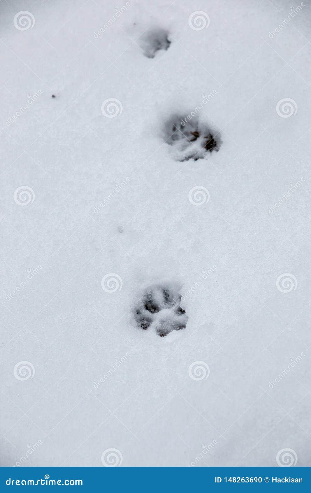 Copie de pied d un chien ou d un loup sur la neige blanche