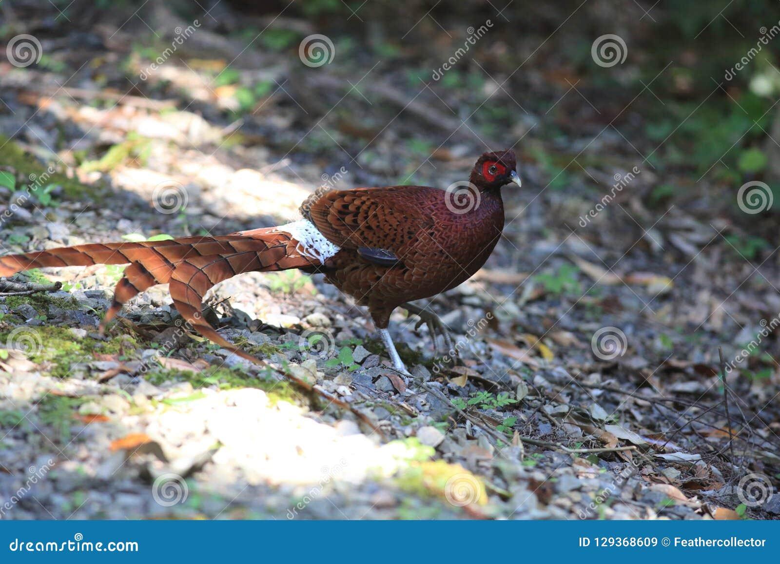 Copper Pheasant male in South Kyushu, Japan