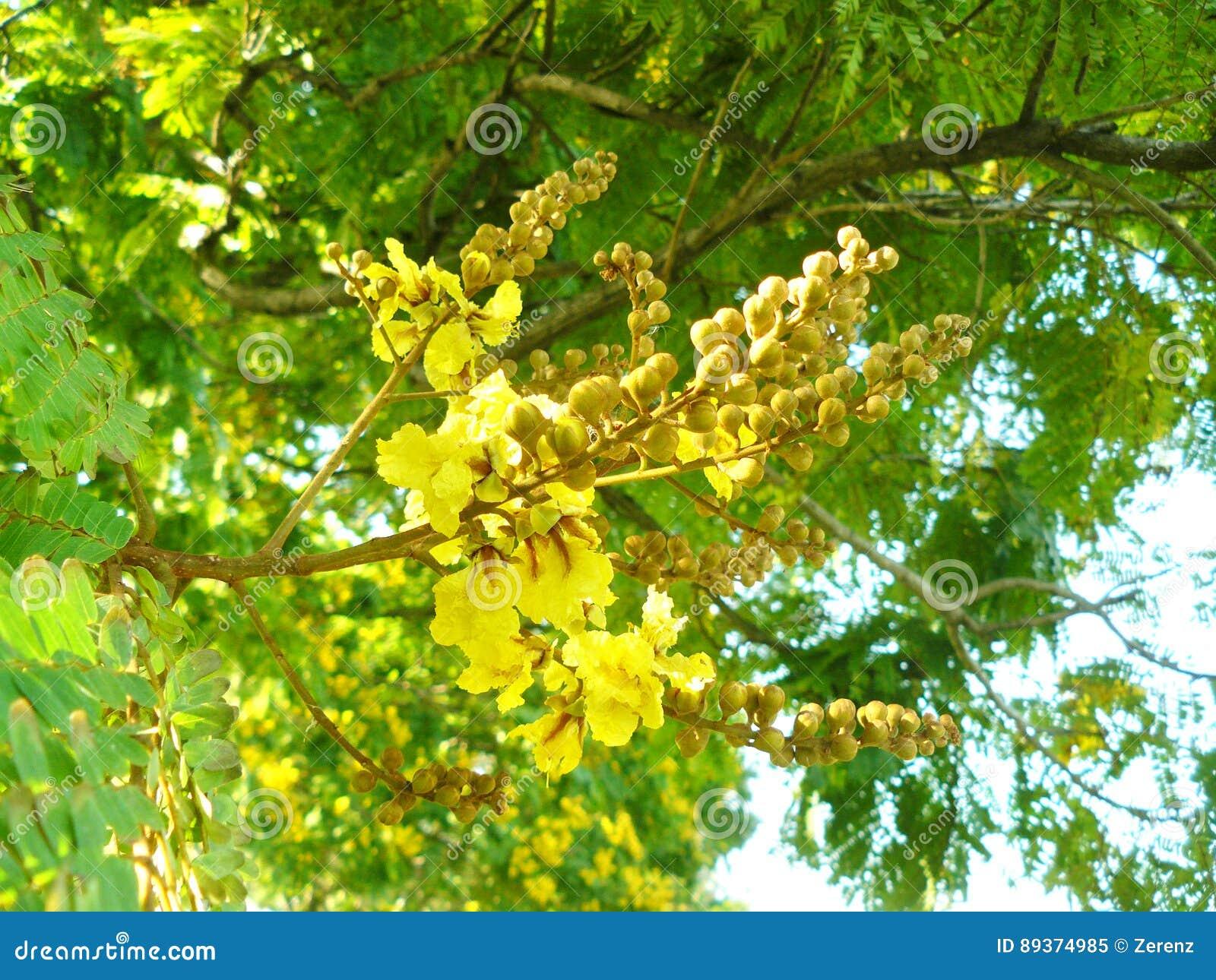 Copper pod flower on the tree stock image image of heyne close up of copper pod flower on the tree x28 yellow flame yellow poinciana or peltophorum pterocarpum x28dc x29 kheyne x29 beautiful flower mightylinksfo