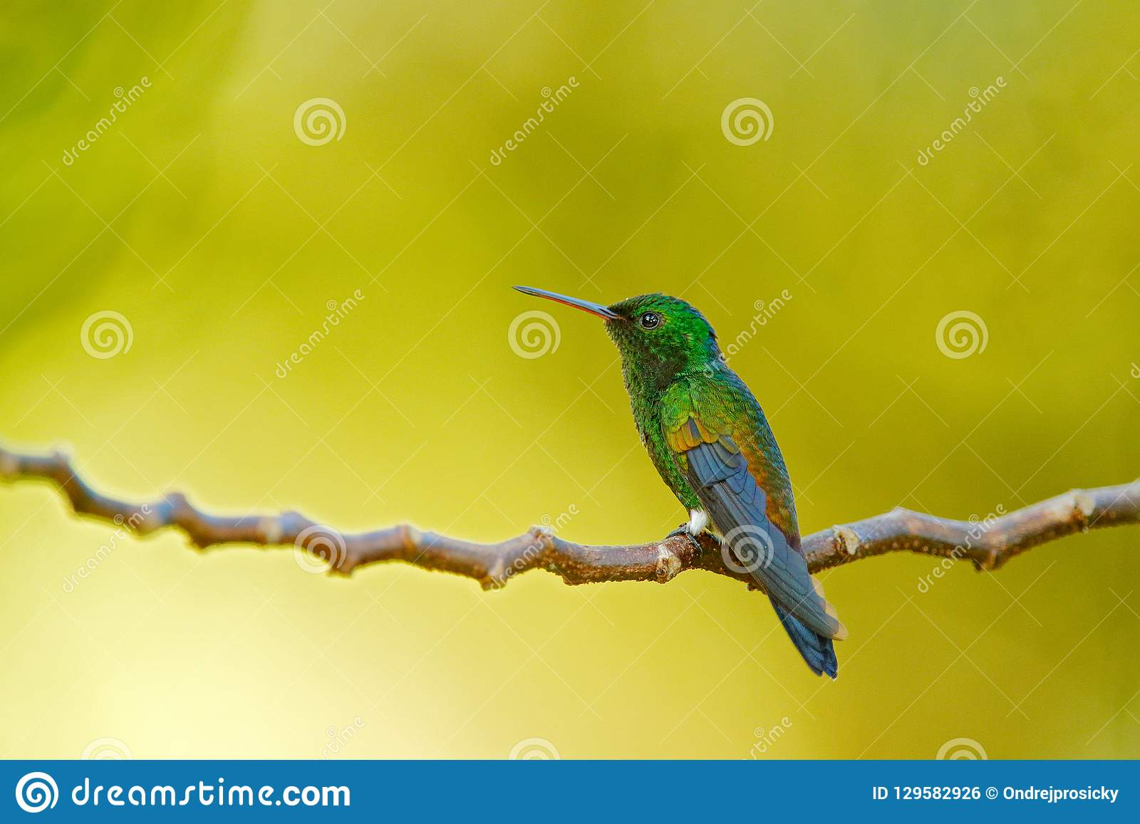Copper-rumped hummingbird, Amazilia tobaci, sitting on the tree branch with green yellow backgrond, Trinidad and Tobaco. Hummingbi