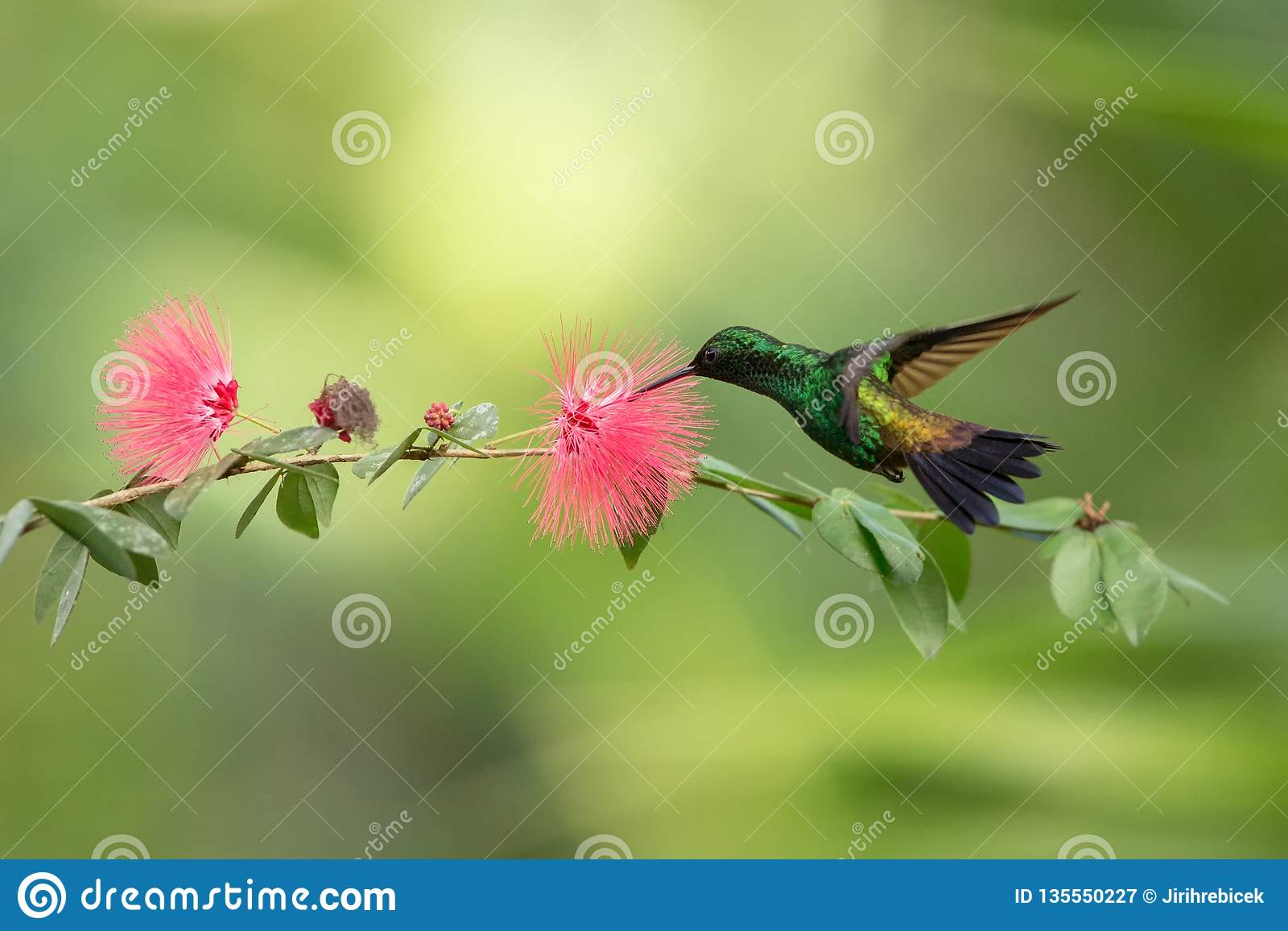Copper-rumped Hummingbird hovering next to pink mimosa flower, bird in flight, caribean tropical forest, Trinidad and Tobago