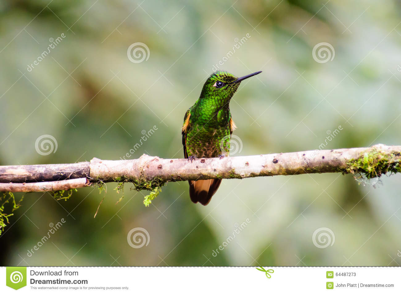A Copper rumped Hummingbird resting on a branch