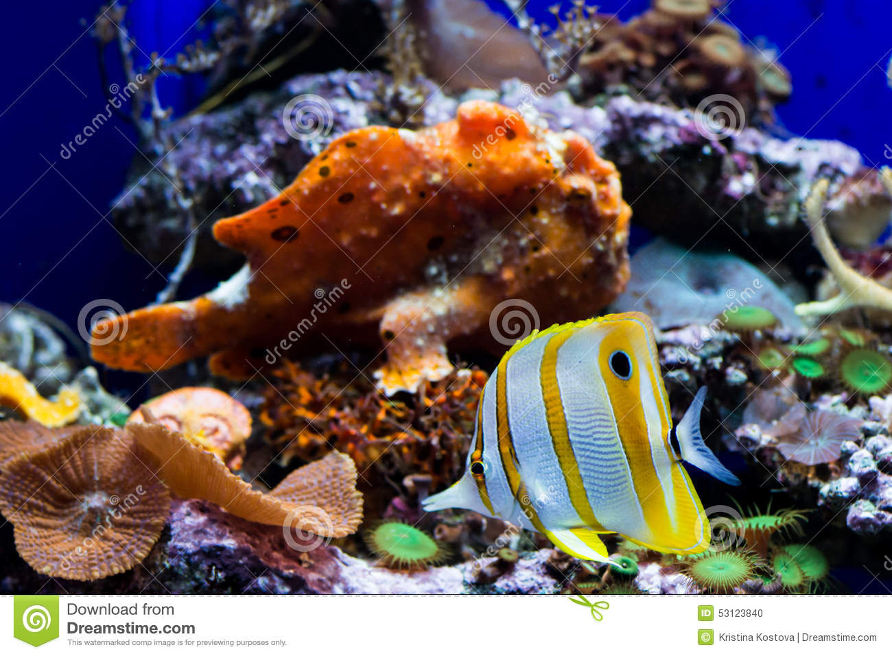Info on striped butterfly fish sorry, does