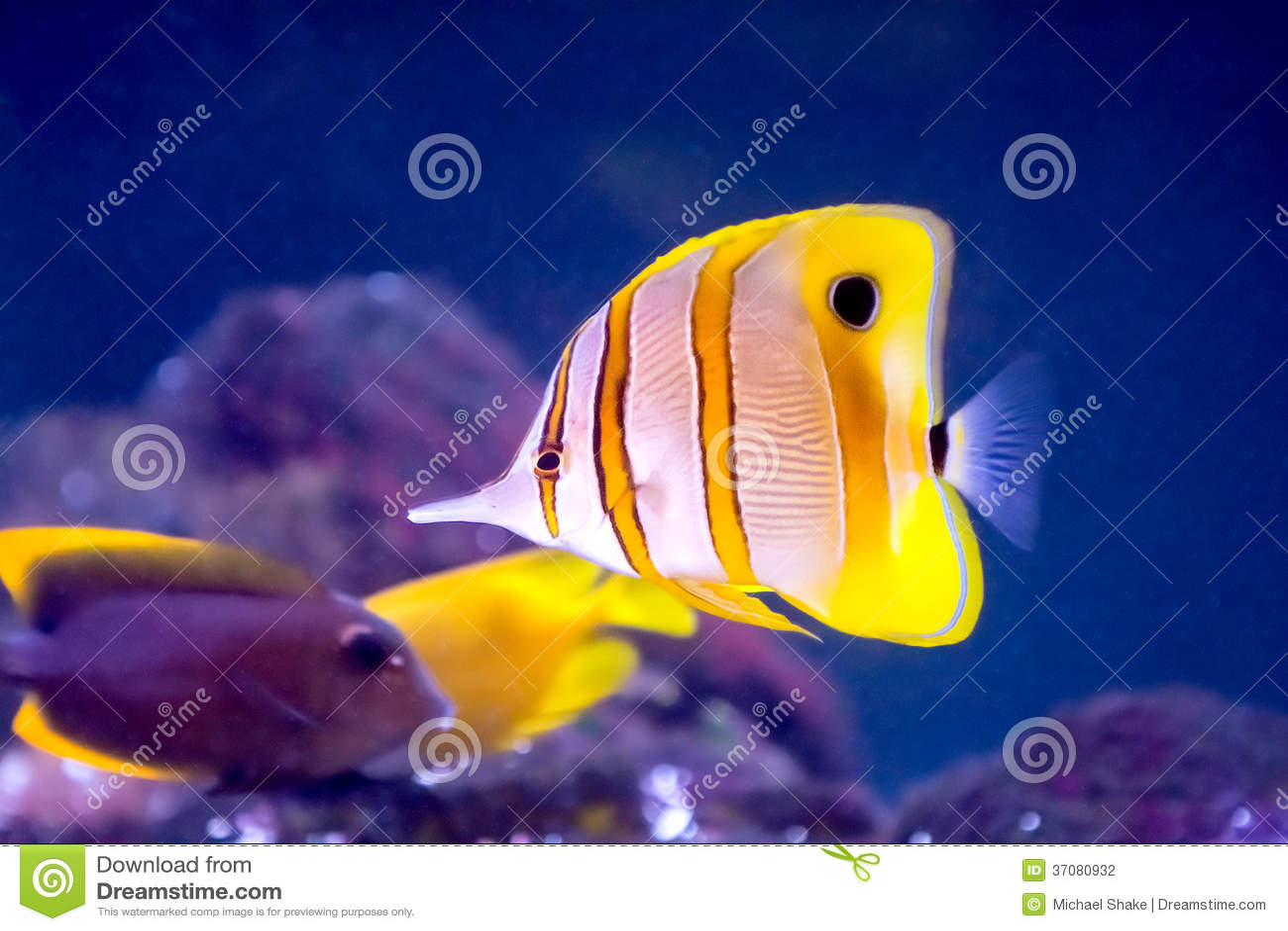 Download Copperband motyla ryba zdjęcie stock. Obraz złożonej z zwierzę - 37080932