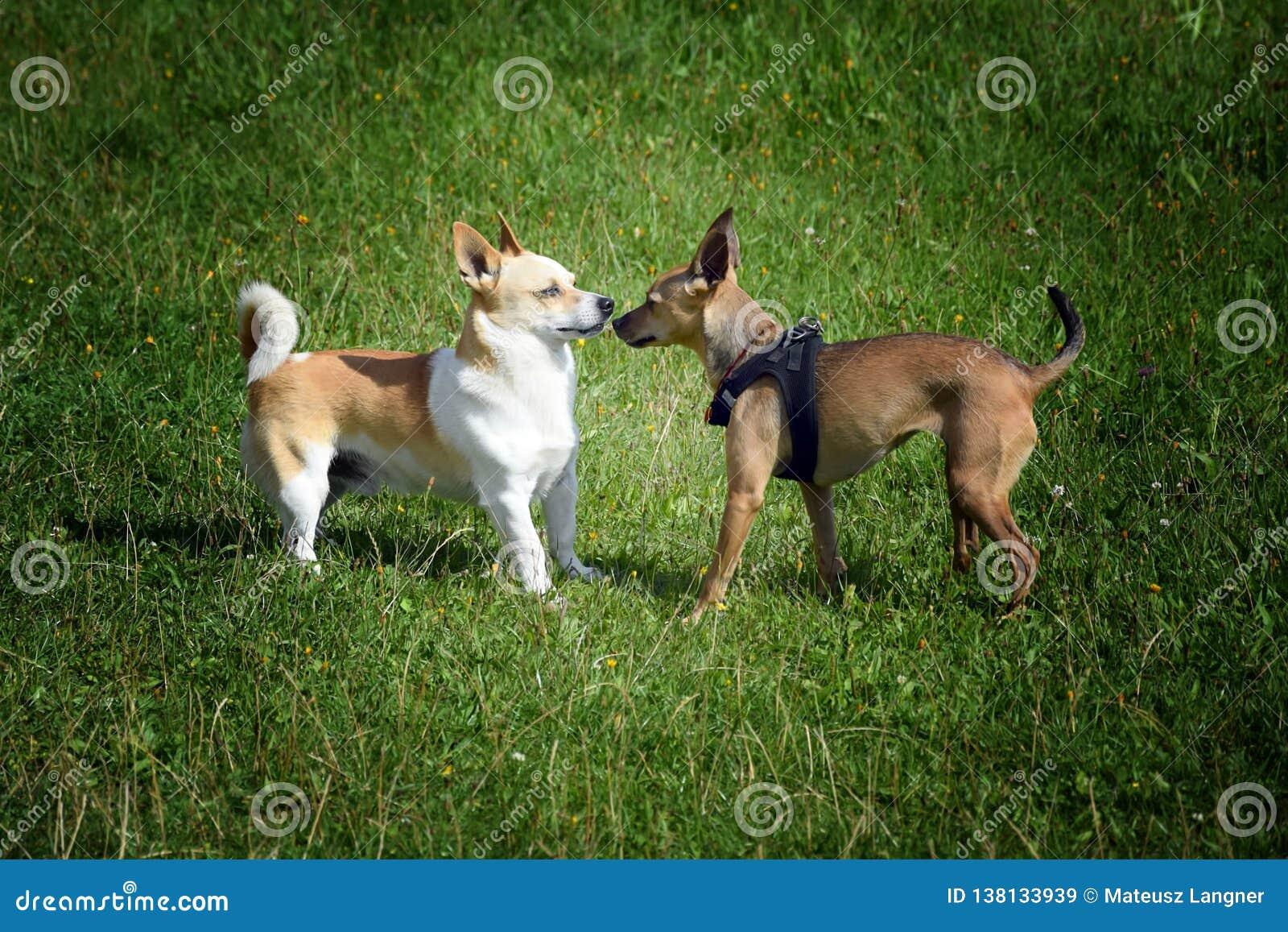 Coppia i cani