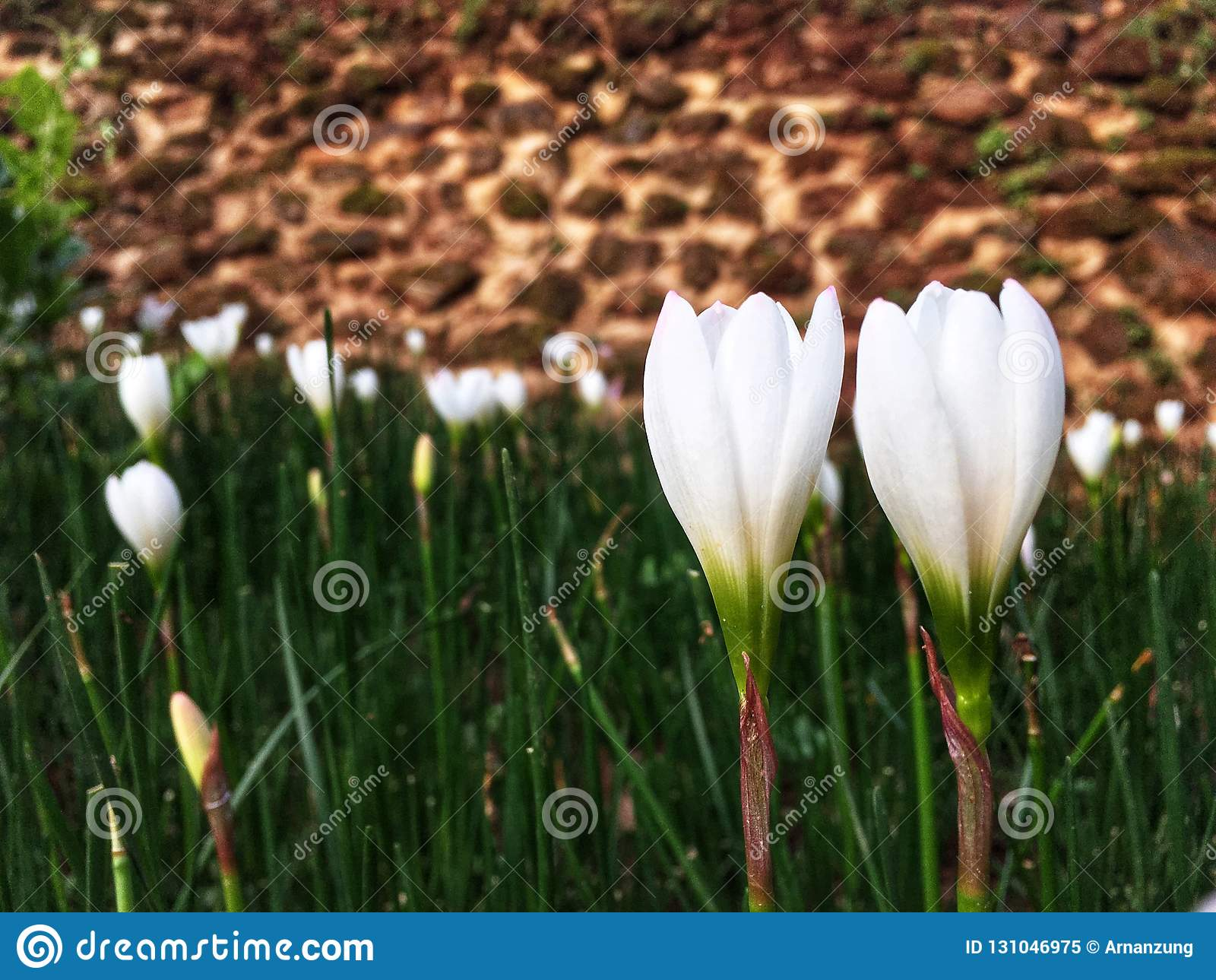 Coppia i fiori bianchi del croco che fioriscono nel giardino nella stagione delle pioggie