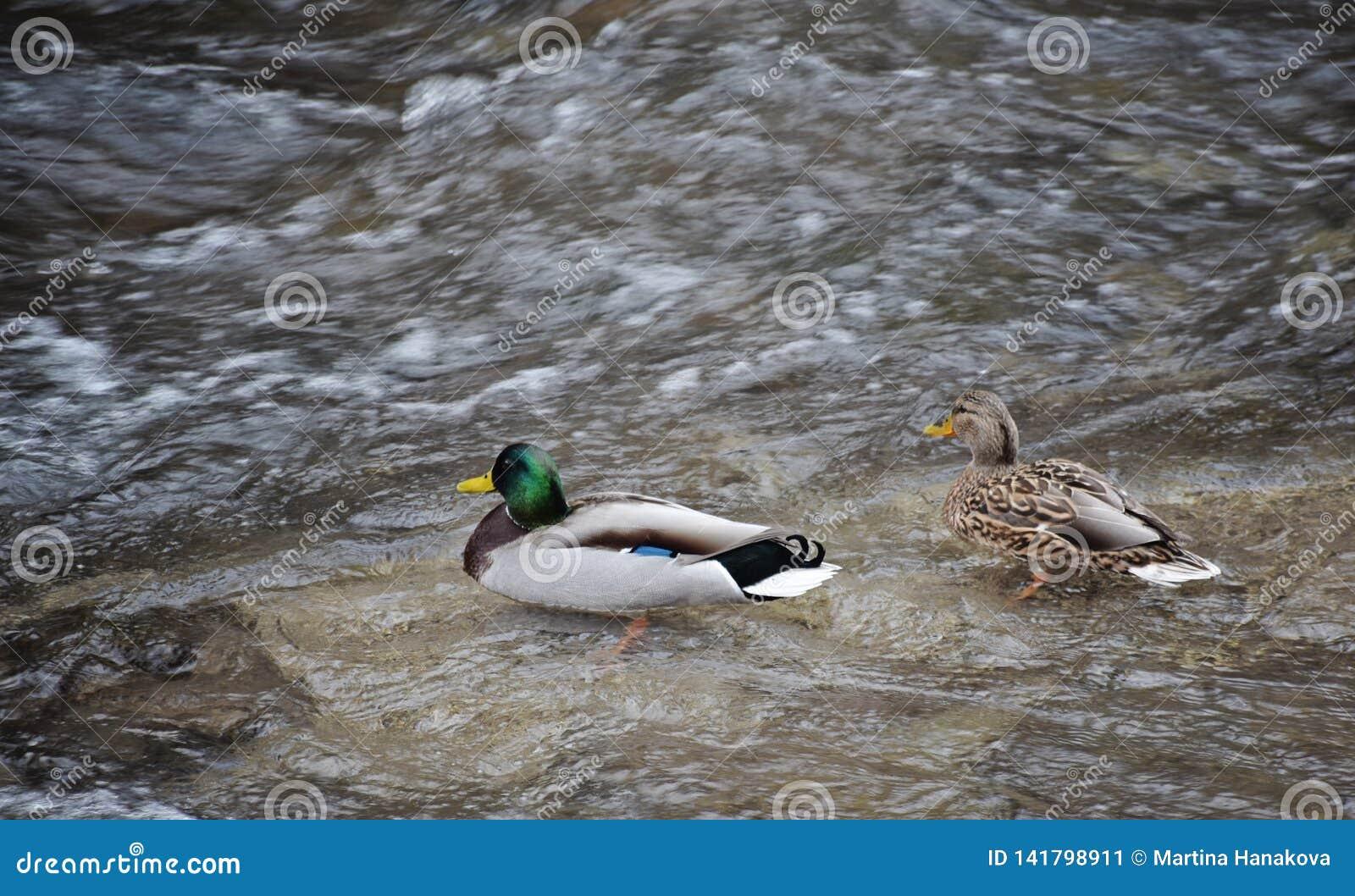 Coppia il maschio e l anatra selvatica femminile - platyrhynchos di anas del germano reale che nuotano nel fiume Sparato da sopra