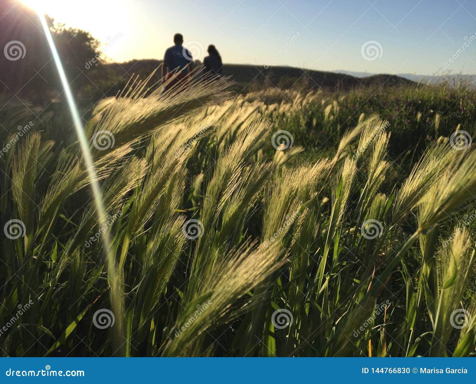 Coppie che camminano attraverso un giacimento di grano