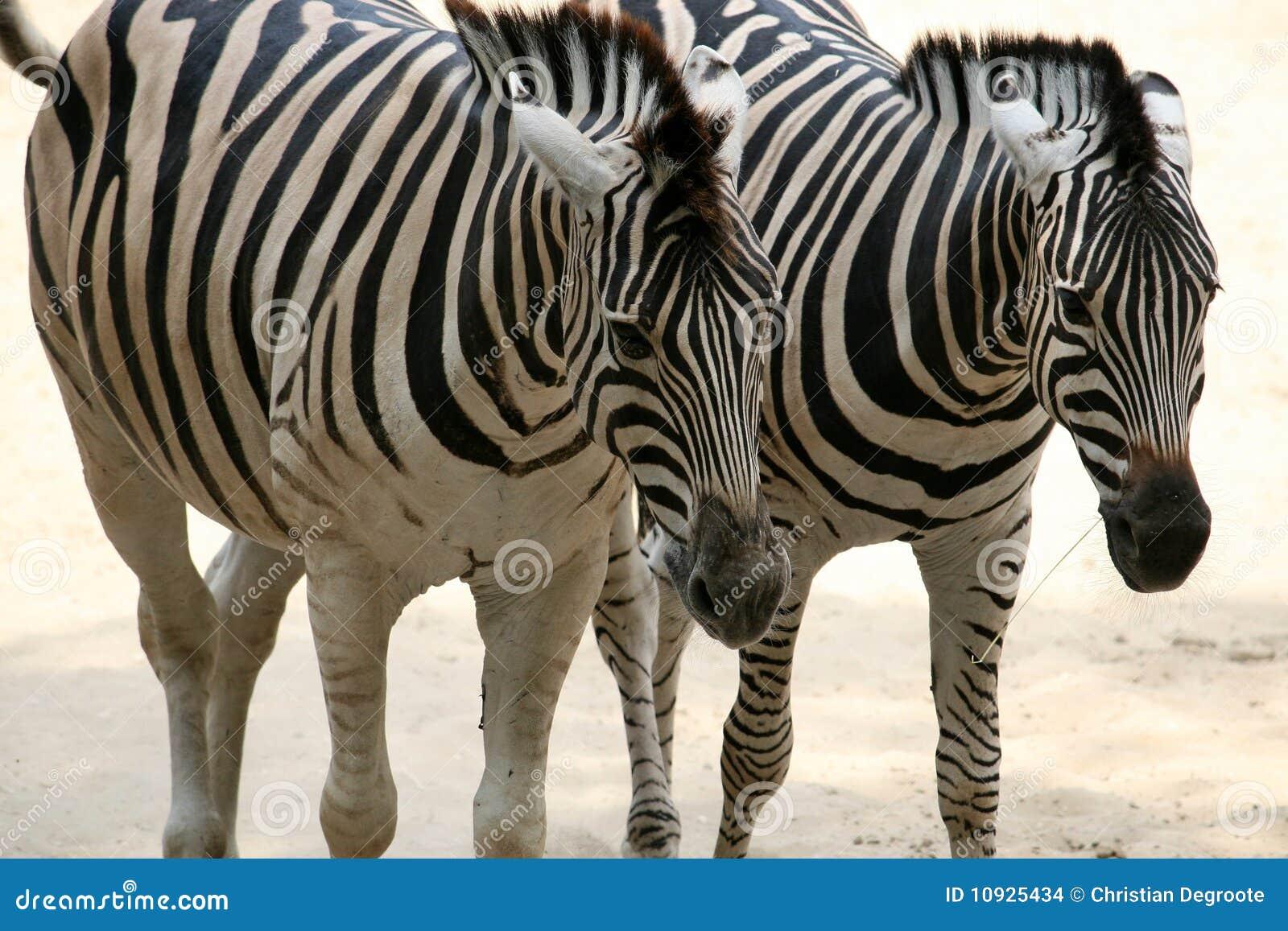 Coppie correnti della zebra