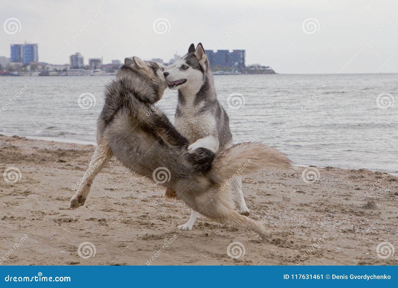 Coppie dei cani del husky che giocano sulla spiaggia
