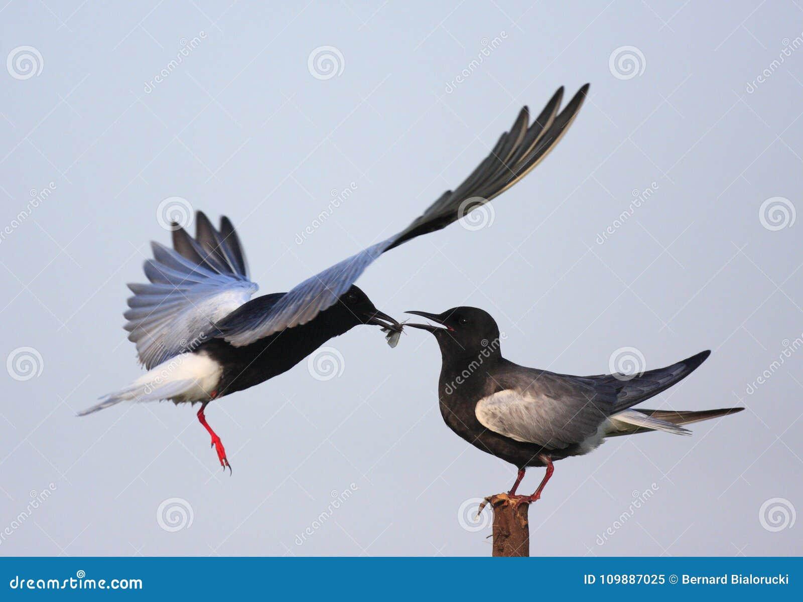 Coppie gli uccelli del mignattino alibianche che si alimentano durante il Ne della molla
