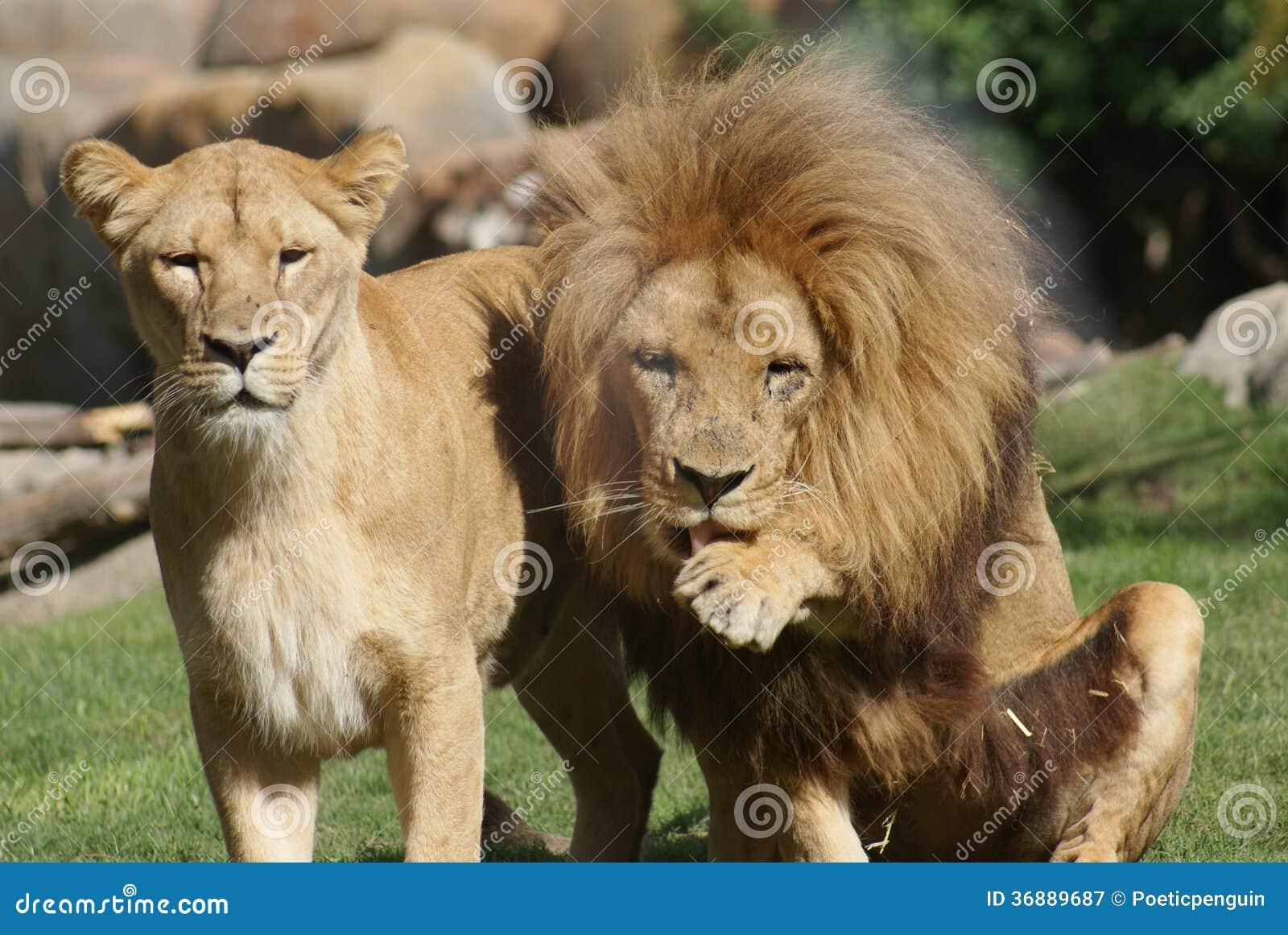 Download Coppie Il Leone Del Katanga - Bleyenbergh Di Leo Della Panthera Immagine Stock - Immagine di coppie, rapporto: 36889687