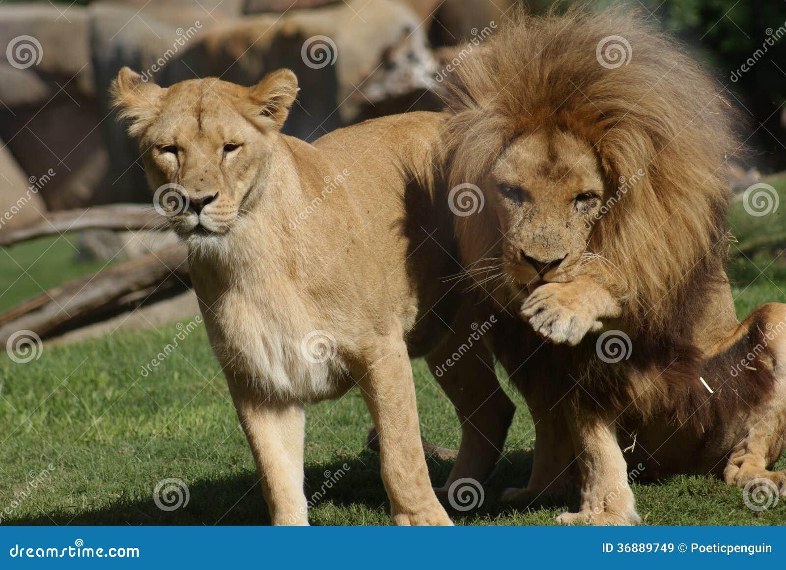 Download Coppie Il Leone Del Katanga - Bleyenbergh Di Leo Della Panthera Immagine Stock - Immagine di grande, yellow: 36889749