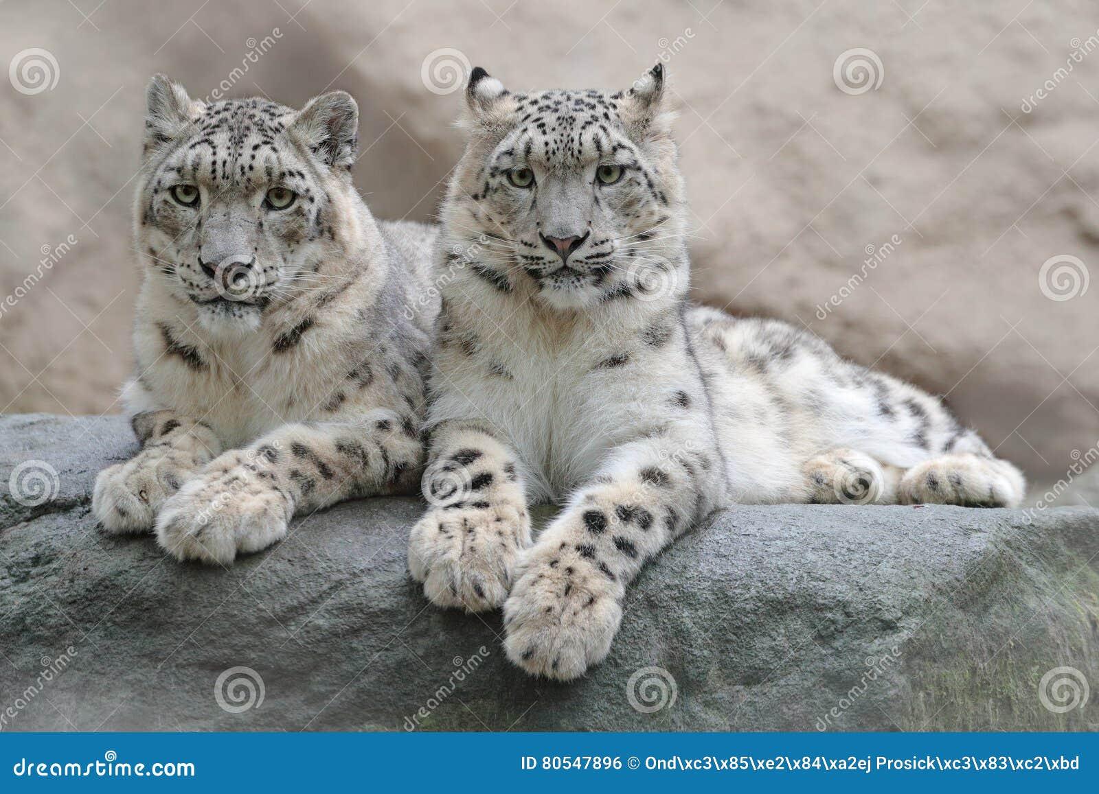 Coppie il leopardo delle nevi con il chiaro fondo della roccia, parco nazionale di Hemis, Kashmir, India Scena della fauna selvat