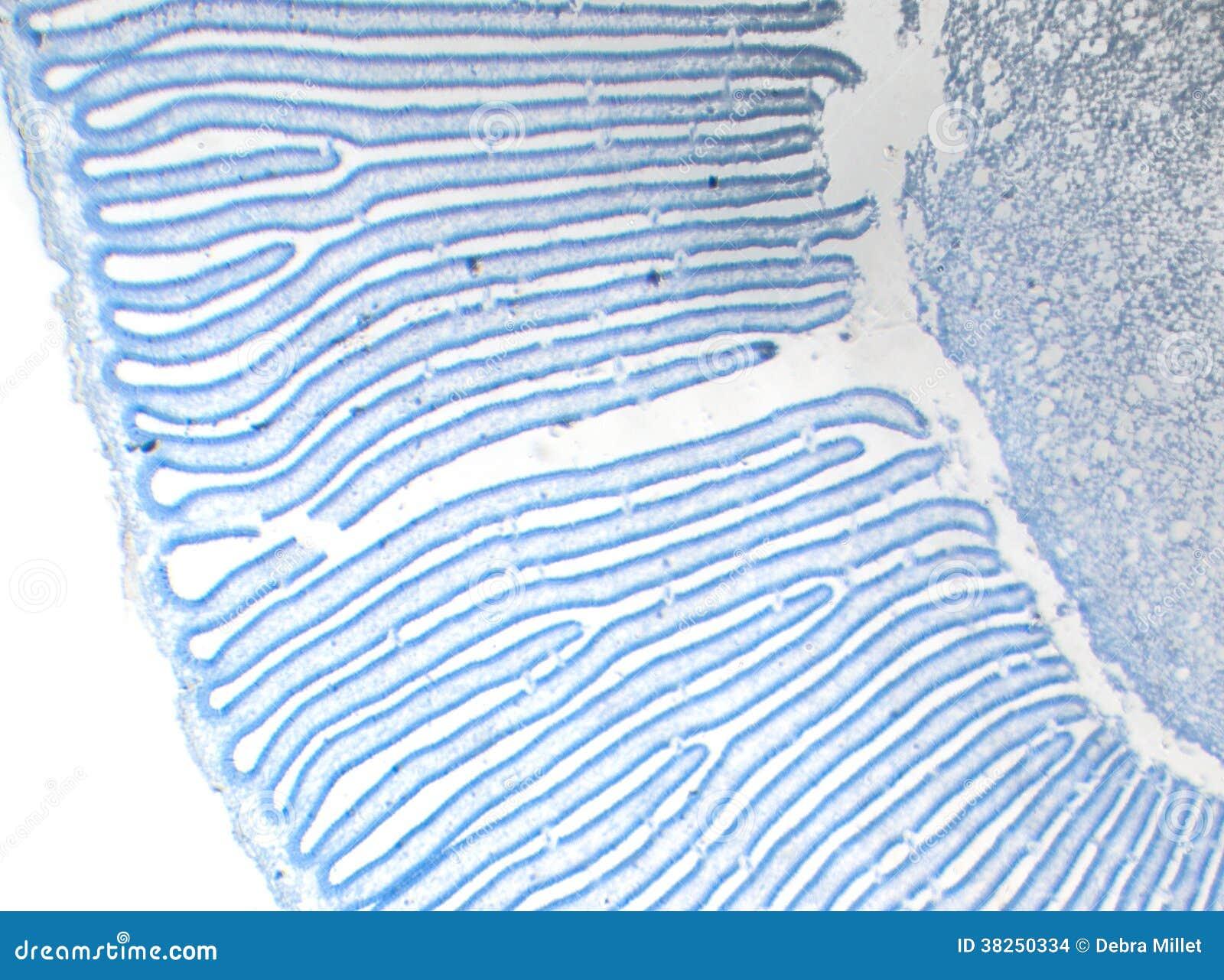 Coprimus蘑菇部分