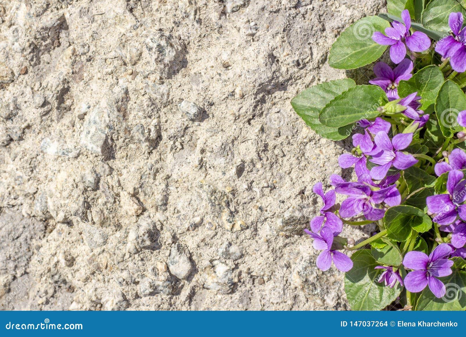 Copyspace achtergrondtextuur lilac bloemen op steen