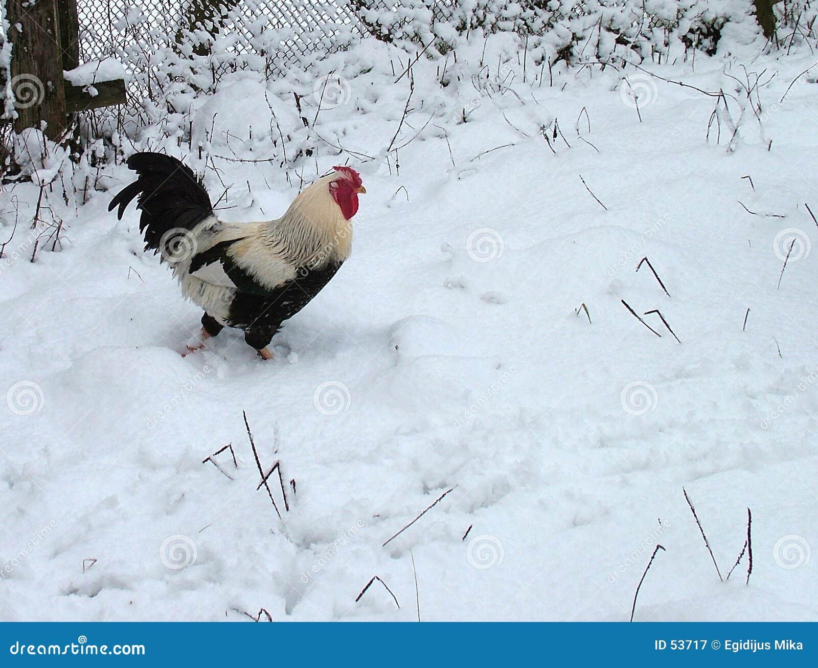 Download Coq image stock. Image du couche, poules, configuration - 53717
