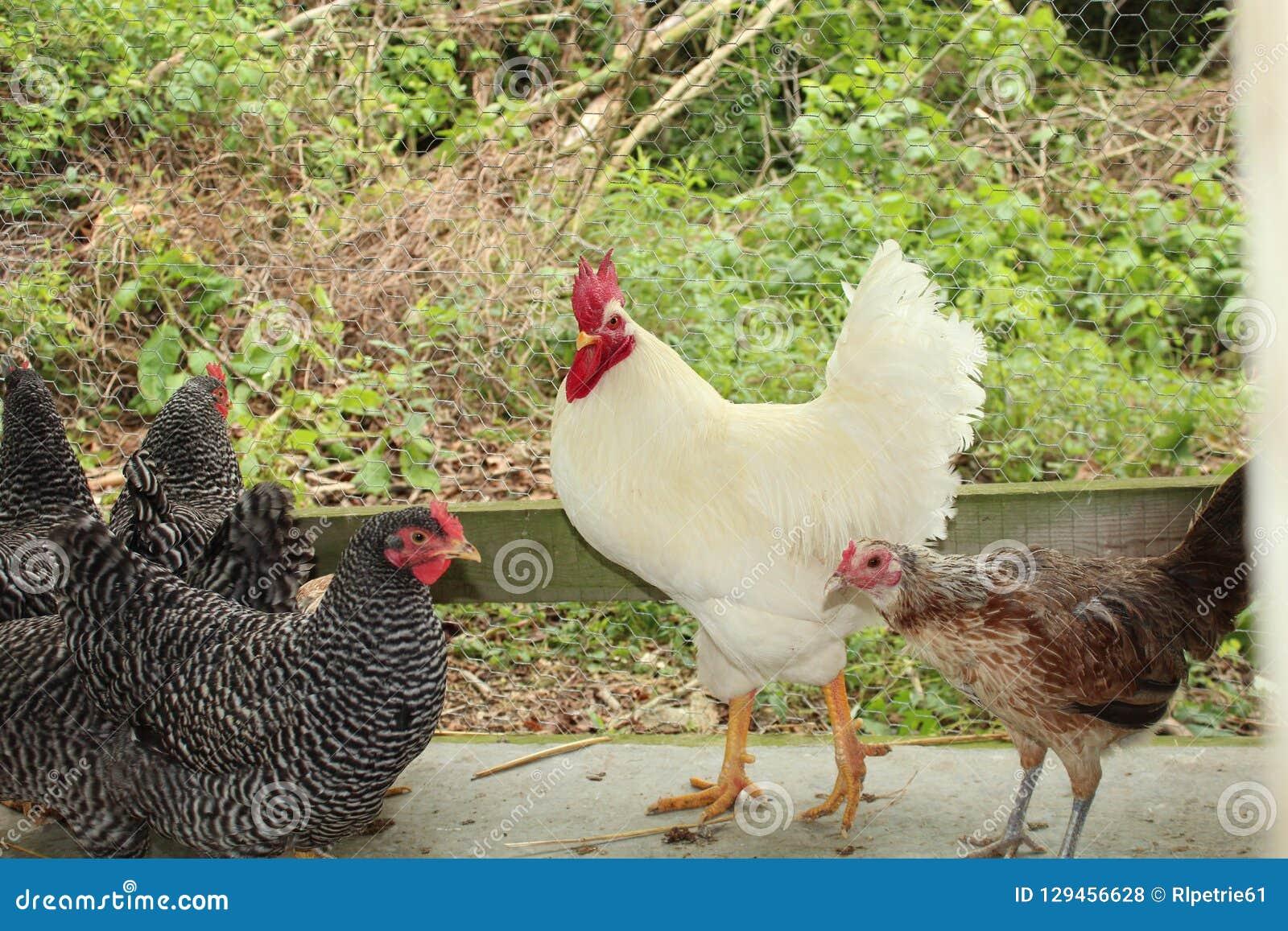Coq blanc avec les poulets barrés de Plymouth Rock