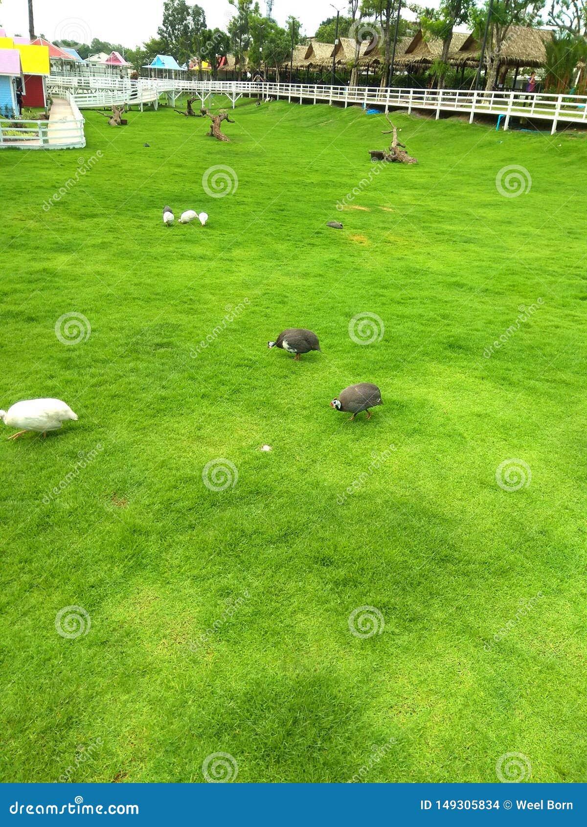 Coq dans le jardin