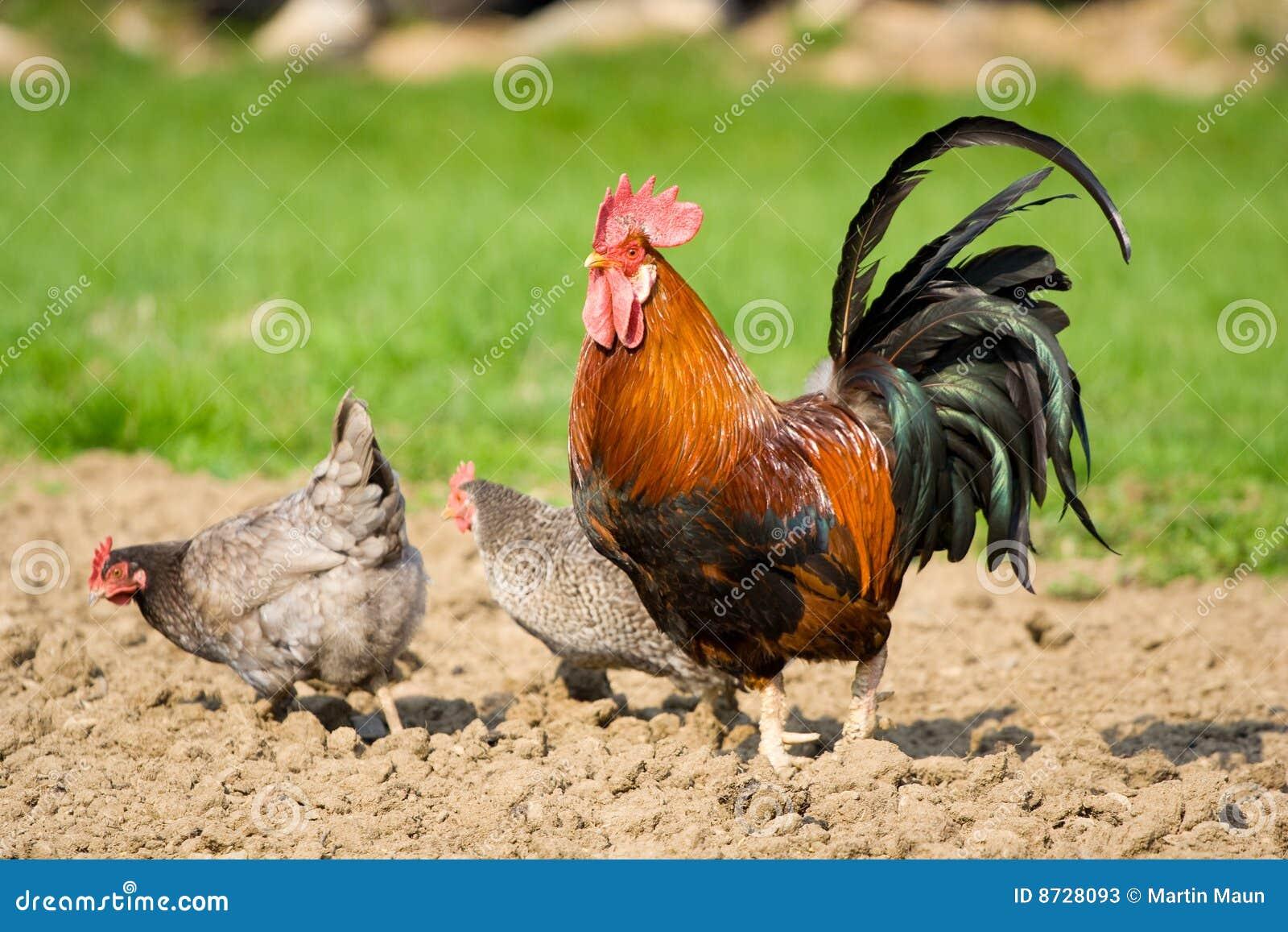 Coq et deux poules photos stock image 8728093 - Image de poule ...