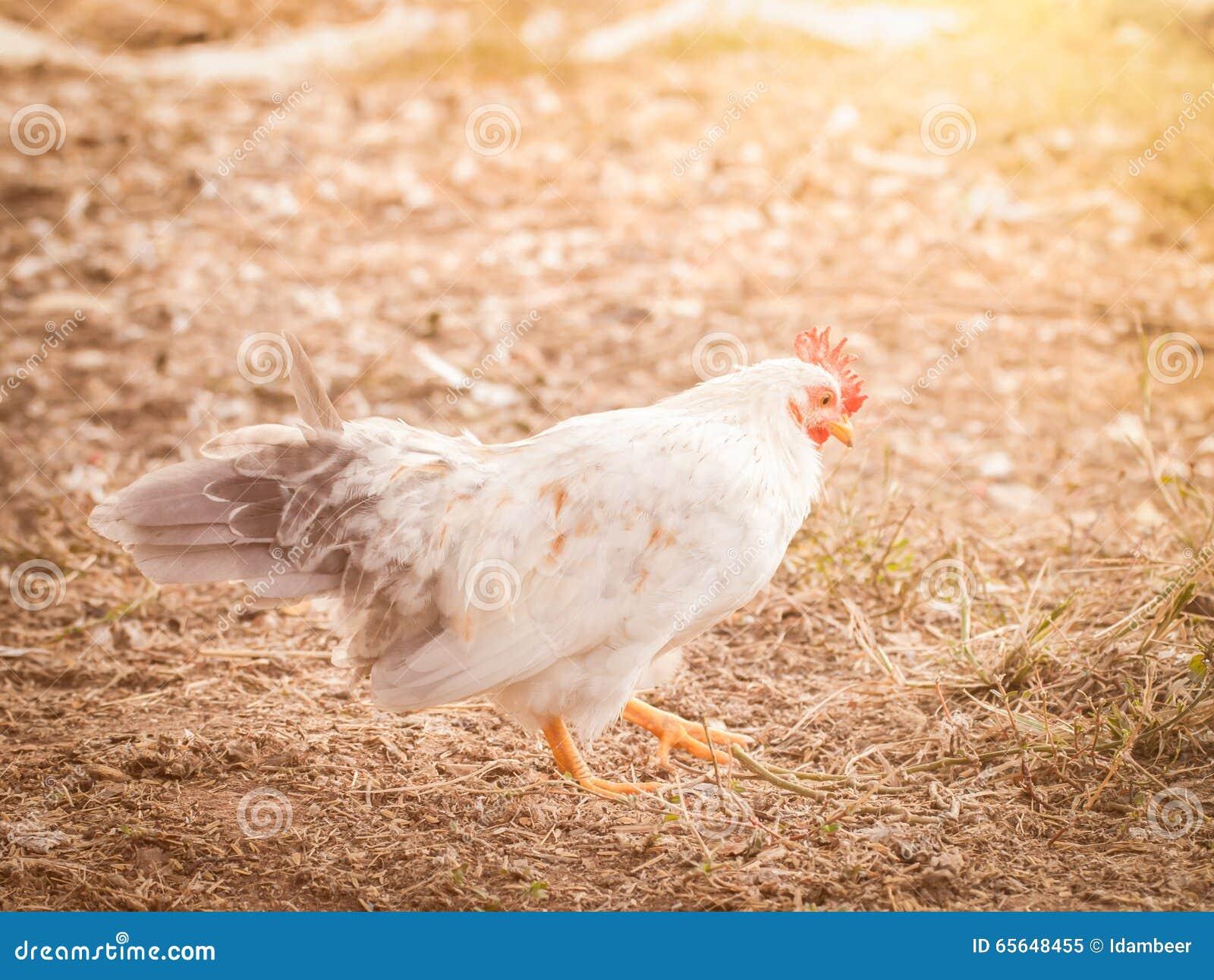 Coq nain mignon
