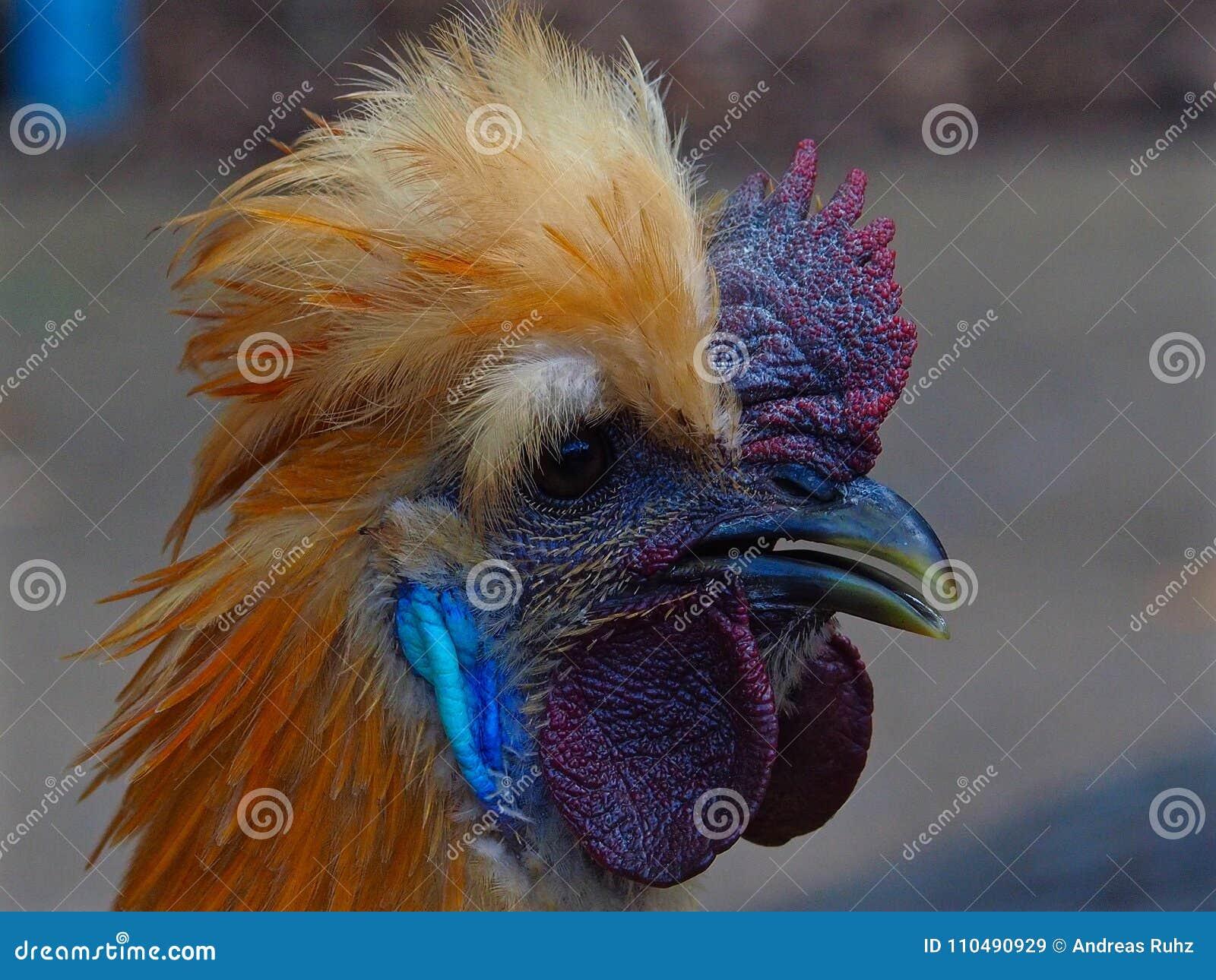 Coq soyeux fabuleux ravissant magnifique avec les configurations flamboyantes audacieuses