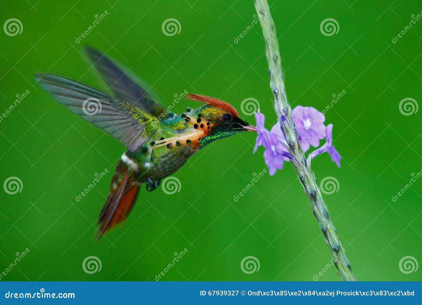 Coquete adornado, colibri colorido com crista alaranjada e colar no habitat verde e violeta da flor,