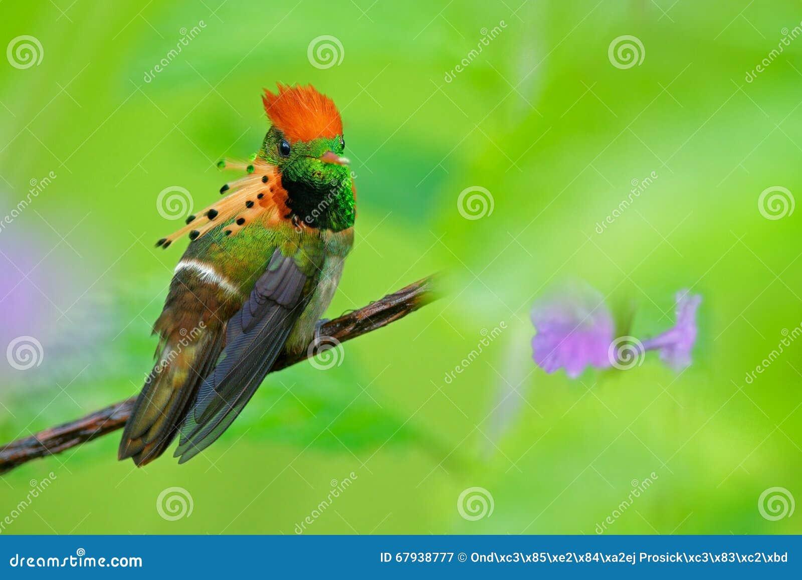 Oiseau Martine 11/01/2016 trouvé par Ajonc Coquette-tufte-colibri-color-avec-la-crte-orange-et-collier-dans-l-habitat-vert-et-violet-de-fleur-trinidad-67938777