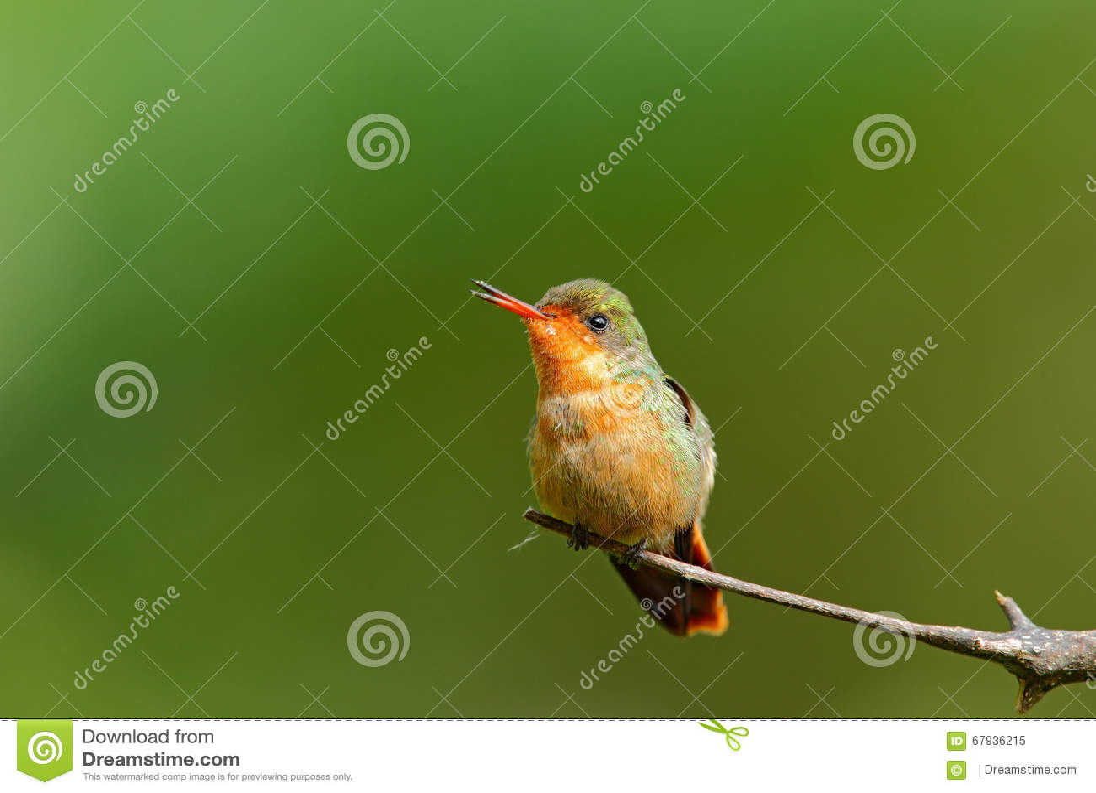 coquette tufte femelle de colibri color avec la crte orange et collier dans l habitat - Vert Et Violet